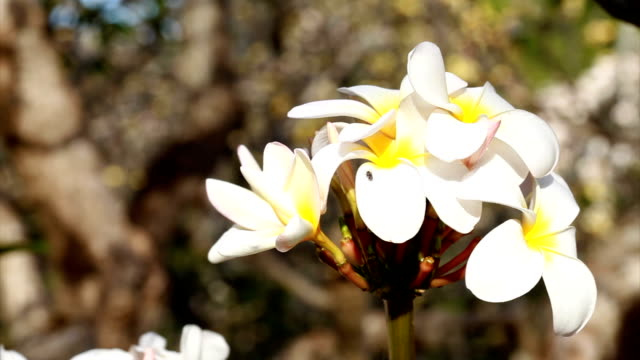 Plumeria flower video HD video