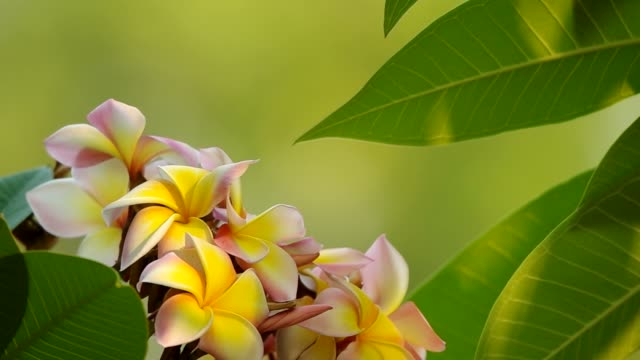 plumeria flowers and leafs video