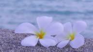 Plumeria White video