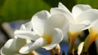 Plumerias growing in Hawaii video