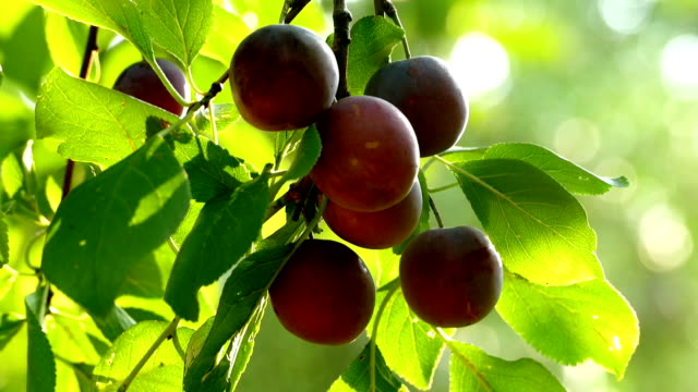 Plums on a branch and hand video