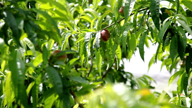 Plums orchard video
