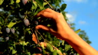 plums picked from tree video