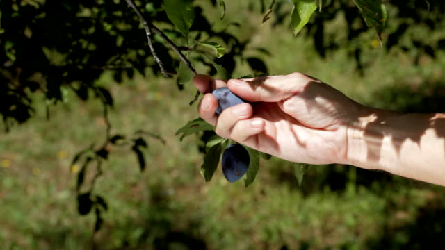 plums picking video