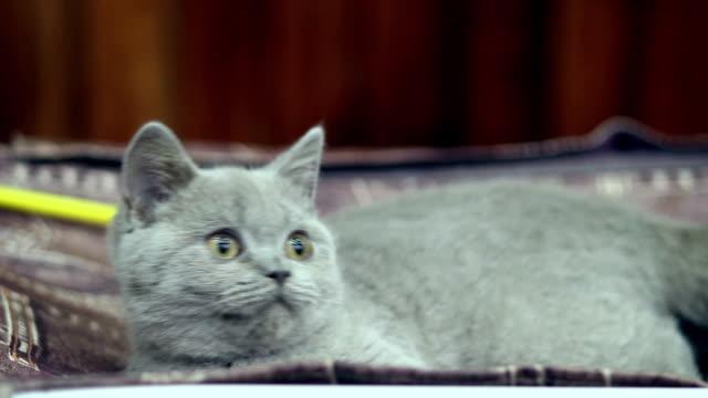 Plush British kitten tries to catch toy video
