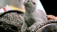 Plush kitten playing video