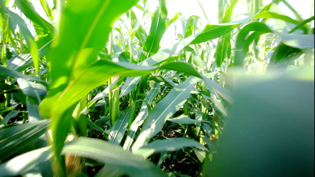 Point of view in maize field video