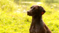 Pointing dog in the hunt, Kurzhaar, drathaar hunting. video