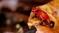 Poison Dart Frog video