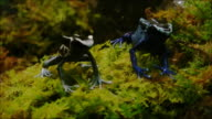 Poison dart frogs video