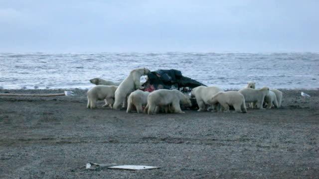 Polar Bears video