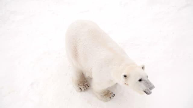 Polar she-bear video