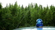 Police car in front marijuana field video