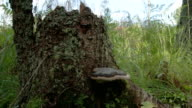 A polypore mushroom found on a trunk of a tree video