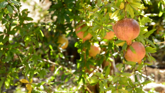 Pomegranate fruit hanging in tree video