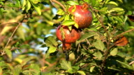 Pomegranate fruits growing in the garden video