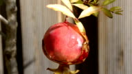 Pomegranate, macro video