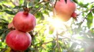 Pomegranate on branch video