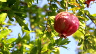 Pomegranate tree video