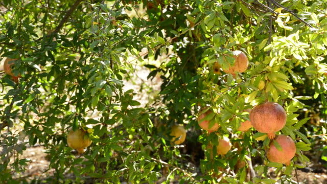 Pomegranates fruit hanging at branch of tree video