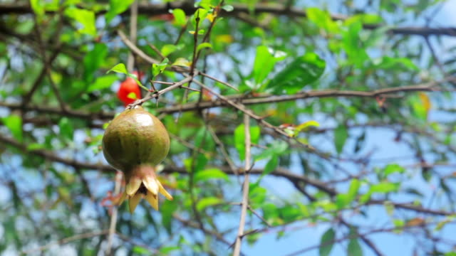 Pomegranates on the tree video