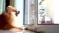 pomeranian dog cute pets in home video