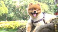 pomeranian dog cute pets smiley in garden video