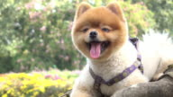pomeranian dog cute pets smiling video