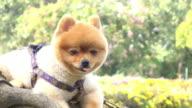pomeranian dog cute pets video
