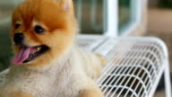 Pomeranian dog happy smile laying down on bench video
