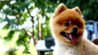 Pomeranian dog happy smile video