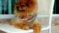 pomeranian dog sitting on chair video