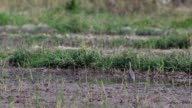 pond heron catching food in hot paddy field video