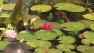 Pond with lotus and fishes video