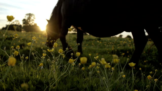 Ponies At Sunset In Buttercup Field. video
