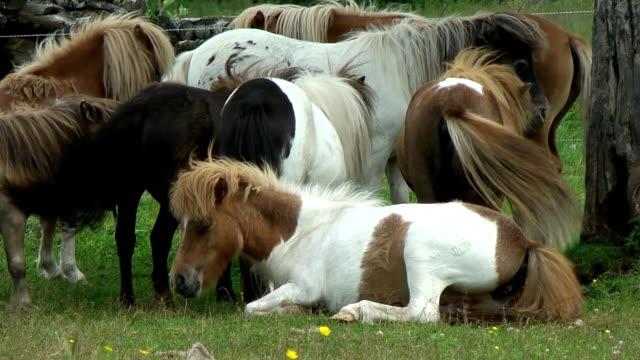 Ponies on the meadow video