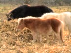 Pony and horses grazing video