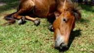 pony horse is eating grass video