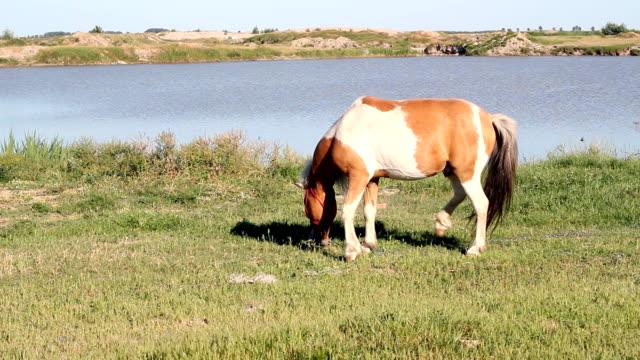 pony horse on pasture video
