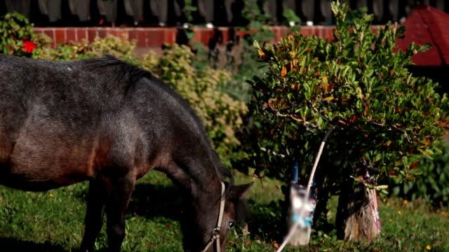 HD STOCK: Pony horse video