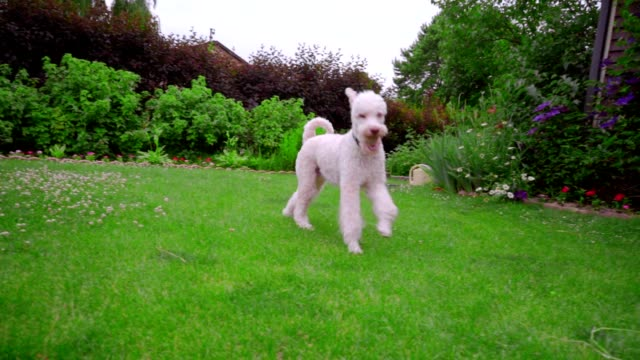 Poodle dog running on green grass at garden backyard. White poodle playing video