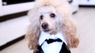 Poodle dressed up in a suit video
