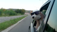 Poodle with style in a moving car video