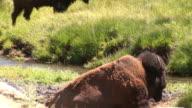 Pooping bison video
