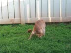 Pooping puppy video