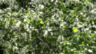 Poplar Summer Fluff HD video