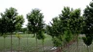 Poplar tree in a row landscape video