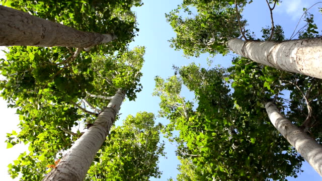 Poplar trees directly below video
