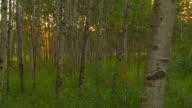 Poplars at sunrise video
