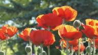 Poppies 01 video